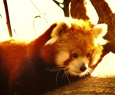 red panda holding tears