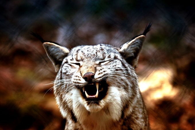The otherworldly screams of the lynx