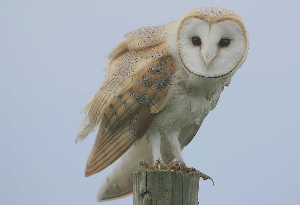Barn Owl Identification Facts Information Ponderwall