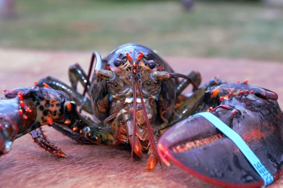 Lobsters do feel pain